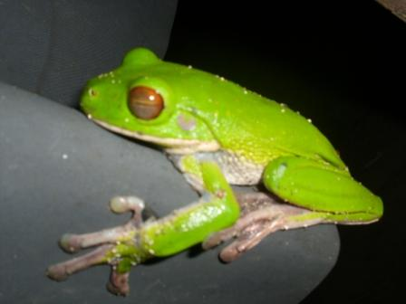 Flying Frog on Foli