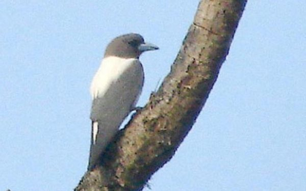 Ivory Backed Woodswallow