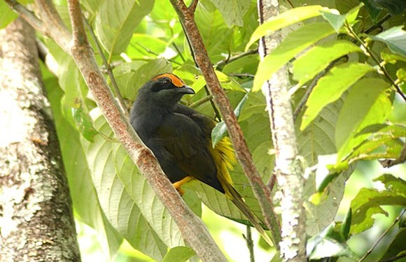 Birding trip to Sulawesi (14 Days / 13 Nights)