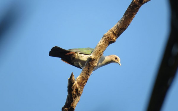 birdwatching-and-cultures-tours-on-bali-island-and-baluran-np-eastern-of-java-7-days-6-nights-07