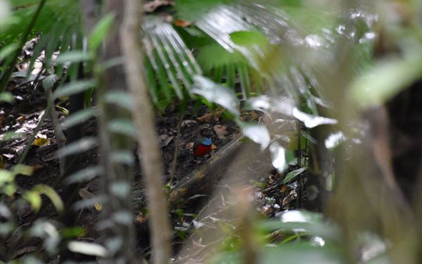 Birdwatching-Tours-in-Sulawesi-included-Lore-Lindu-National-Park-and-Tangkoko-Nature-Reserve-01