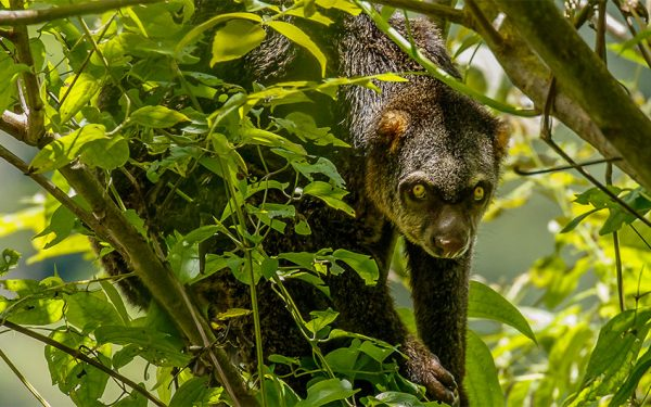 Wildlife Photographic Tours to Nantu for the Babiroussa Celebensis the Sulawesi endemic fauna, Tangkoko Nature Reserve and Lore Lindu NP in Cebtral Sulawesi