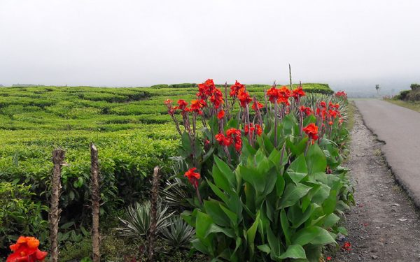 Tea-Plantations-on-the-way