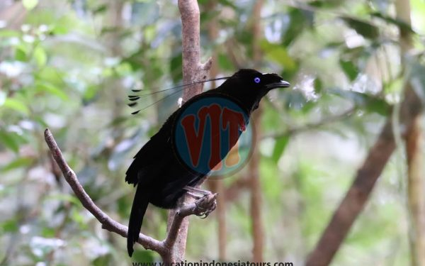 paige-harvey-and-bruce-harvey-to-west-papua-for-birding-tours-to-waigeo-island-and-arfak-mountain-on-manokwari-46