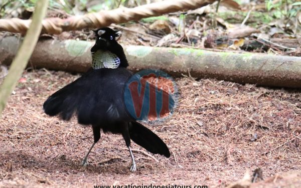 paige-harvey-and-bruce-harvey-to-west-papua-for-birding-tours-to-waigeo-island-and-arfak-mountain-on-manokwari-52
