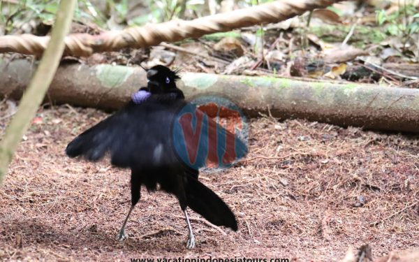 paige-harvey-and-bruce-harvey-to-west-papua-for-birding-tours-to-waigeo-island-and-arfak-mountain-on-manokwari-53