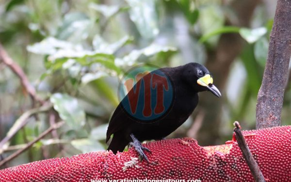 paige-harvey-and-bruce-harvey-to-west-papua-for-birding-tours-to-waigeo-island-and-arfak-mountain-on-manokwari-60